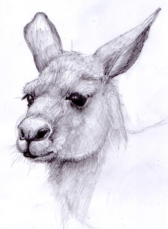 kanga 2